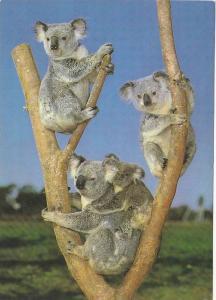 Koala Family,   50-70s