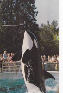 Killer Whale Skana show , Vancouver , B.C. , Canada , 40-60s #3