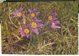 Postcard Flowers Pasque Flower Anemone Pulsatilla - posted