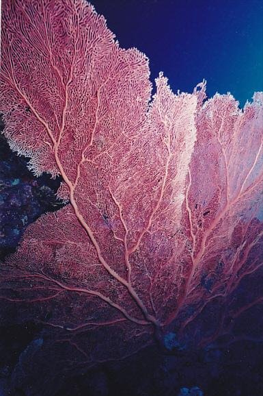 Micronesia Pohnpei Underwater Scene With Beautiful Fan Coral