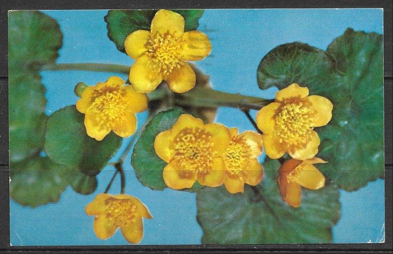 Yellow Marsh Marigold or Cowslip - Flowers - (MX-051)