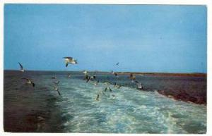 Hungry Gulls follow the Oregan ferry, North Carolina's Outer Banks, 50-70s