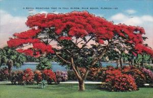 Missouri A Royal Poinciana Tree In Full Bloom Palm Beach Florida 1940