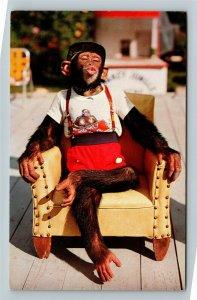 Miami FL-Florida, Chimpanzee, Monkey Jungle, Chrome Postcard