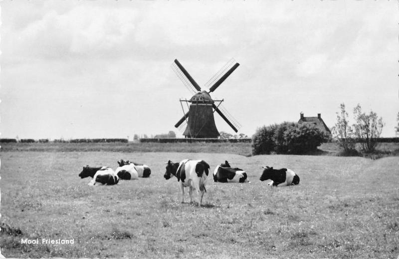 B98652 cow vache windmill mill netherlands friesland real photo  animals animaux