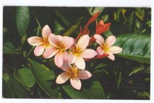 Pink Plumieria Hawaii Flower Postcard