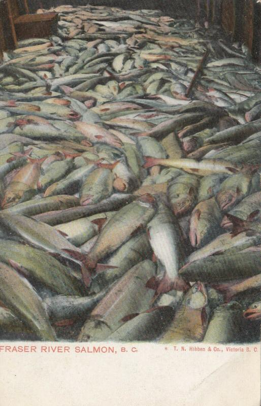 FRASER RIVER , B.C. , Canada , 00-10s ; Salmon Catch