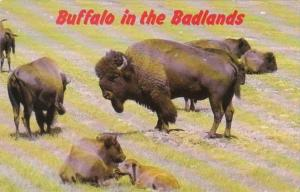 South Dakota Black Hills Buffalo In The Badlands