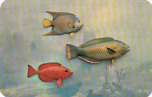 Florida Native Fish Queen Angel Fish Wrasse Fish & Toro Fish South Florida