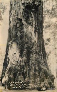 C-1920s Giant Big Tree Park Santa Cruz California RPPC Real photo postcard 353
