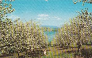 Canada Apple Orchard In Bloom and Kalamalka Lake British Columbia 1959
