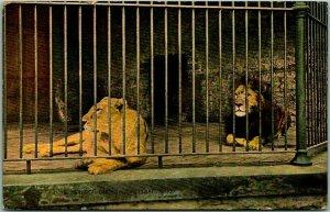 Cincinnati, Ohio Postcard LIONS, Zoological Gardens Zoo Scene Cage 1912 Cancel