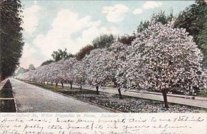 Oxford Street White Magnolias In Bloom Rochester New York