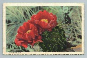 Cactus Bloom Red Flower Cedar City Utah UT Postcard