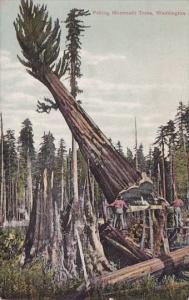 Felling Mammoth Trees Pacoma Washington