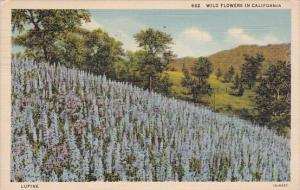 California Los Anageles Lupine Wild Flowers In California 1937