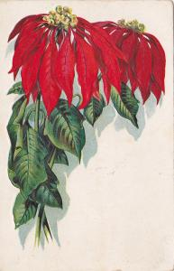 Poinsettas on white background, PU-1909