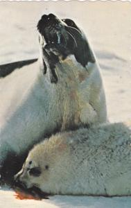 Motherhood For A Harp Seal In Canada Is A Dead Baby, Canada, 1940-1960s
