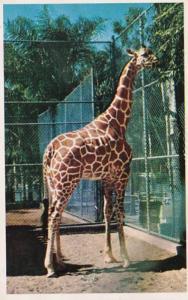 California San Diego Zoo Reticulated Giraffe 1953