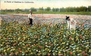 California Beautiful Field Of Dahlias 1922 Curteich