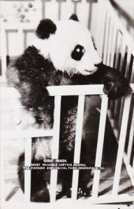 Giant Panda Bear Chicago Zoological Park 1952 Real Photo
