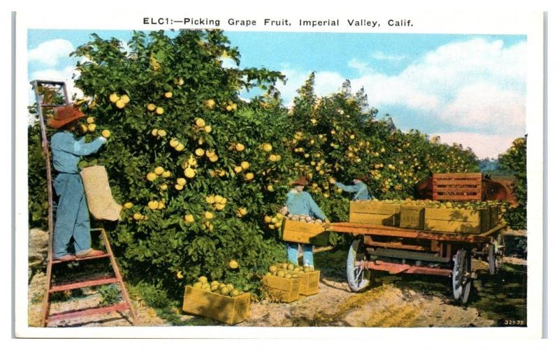 Early 1900s Picking Grapefruit, Imperial Valley, CA Postcard
