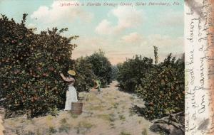 ST PETERSBURG , Florida , 1907 , Florida Orage Grove