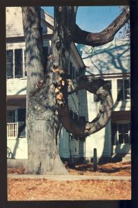 Freyburg, Maine/ME Postcard, The Doughnut Tree, 1960!