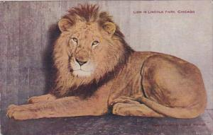 Illinois Chicago Lion In Lincoln Park Zoo