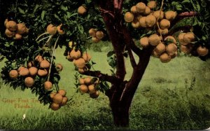 Florida Typical Grape Fruit Tree