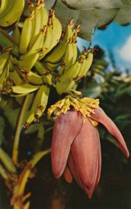 Banana Blossom and fruit - Common sight in Florida