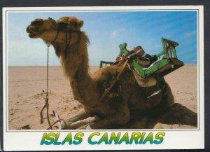 Animals Postcard - Camel - Islas Canarias    RR4408