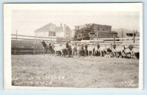 RPPC SULTAN, WA Washington ELK to be PLANTED in SULTAN BASIN c1910s    Postcard