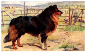 Dog ,   Scotch Collie