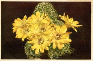 Flowers - Yellow Cactus