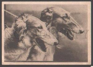 098979 Two BORZOI Dogs CHAMPIONS Vintage PHOTO Russian RARE PC