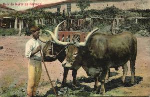 portugal, Bois do Norte, Bull Ox Cow (1910s)
