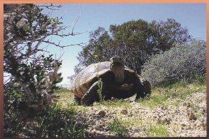 BARSTOW, California, 1950-70s; Desert Tortoise, Mojave Desert