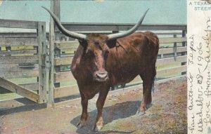 TEXAS; PU-196; A Texas Steer (Long Horn), TUCK # 2429
