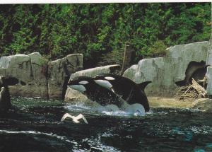 Killer Whales , VANCOUVER , B.C. , Canada , 50-70s