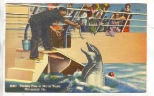 Feeding Time at Marine Studio, Marineland, Florida,  PU-30-40s Dolphin