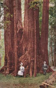 SANTA CRUZ, California, PU-1915; Ingersoll Cathedral, Big Trees