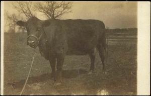 American Bull, Cow (1910s) RPPC