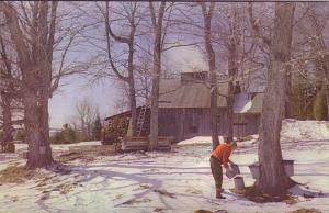 Taping Trees, Maple Syrup, Sugar Shake, Sheffield, Vermont, 5.5 X 8.5