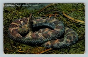 A Rattlesnake Showing Its Rattlers, Vintage Postcard