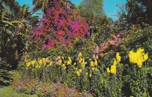 Florida St Petersburg Sunken Gardens Beautiful Bougainvilleas and Flowers