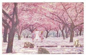 Double-flowered Oriental Cherry trees (variety Kwanzan), Brooklyn Botanic Gar...