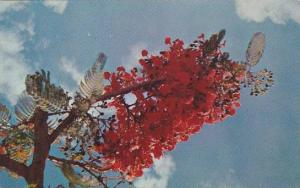 Flame Tree , Guam, 40-60s
