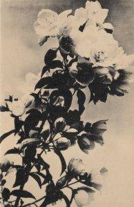 LISLE, Illinois, 1920-40s; Blossoms in the Arboretum # 2, The Morton Arboretum