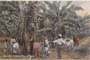 Banana Plantation, Jamaica, Early  Postcard, Unused